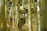 Mule deer behind aspen trees