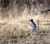 Blue Jay (w sound)