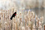 Red Winged Blackbird on cattails (w/ sound)