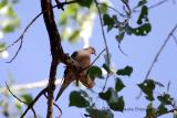 Mourning Dove (w/sound)