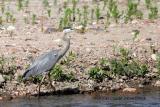Great Blue Heron (w/sound)