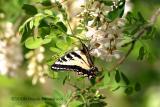 West Tiger Swallowtail  Butterfly on black locust tree flowers