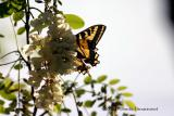 West Tiger Swallowtail
