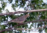Mourning Dove (Bato-bato) w sound