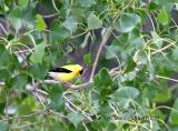Male American Goldfinch (w/sound)