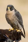 Pueblo Eagle Day