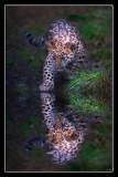 Leopard Cub Tentative Steps