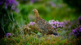 Moorland Grouse