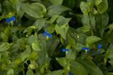 Asiatic dayflowers
