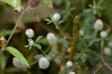 Rabbit-foot clover