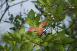 Sweet pepper bush