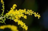 Elm-leaf goldenrod