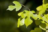 Mulberry sapling