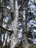 lacebark pine