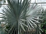 fan palm