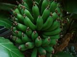 Rhode Island bananas