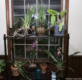 orchid shelves almost full
