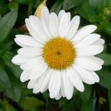 shasta daisy.tif