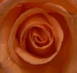 wet rose.tif