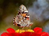 My Best  Painted Lady Butterfly  Shot