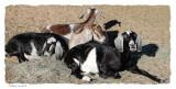Goat Pile