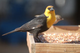 Yellow -Headed Blackbird