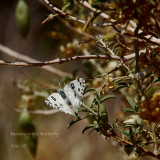 Beckers White Butterfly