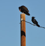 Turkey Vultures  And  Raven