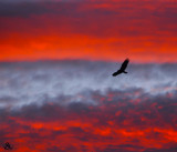 VULTURE in SUNSET