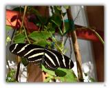 Butterfly Zebra Longwing.