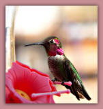Male Annas Hummingbird.