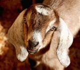 Kenyas buck 2 days old.