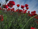 late_spring_in_israel__poppies 5.jpg