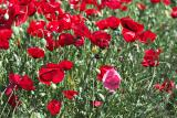 late_spring_in_israel__poppies 9.jpg