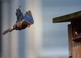 Male Bluebird, bringing home take-out