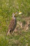 Eastern Meadowlark. checkin' out the irritating photographer...