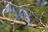 This Colorful Eastern Bluebird came to the Same Spot on the Same Limb Most Mornings...