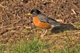 Front yard robin in the early morning sun...