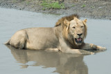 Lion Cooling Off