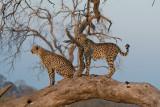 Cheetah Brothers marking their tree