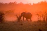 Elephant in the Botswana Sunset