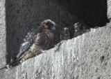 Peregrine Falcons (middle one screaming)