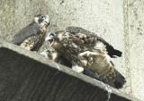 Three Juvenile Peregrines.  One screaming for food.