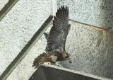 Juvenile Peregrine Falcon testing the wings