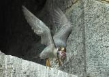 Male Adult Peregrine cleaning out the nest box