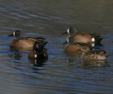 Blue - Winged Teal