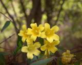 Yellow Jasmine in April