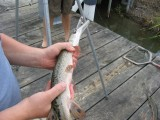 Young Alligator Gar