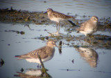 Baird's and Least Sandpipers