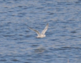 Thayer's Gull-flight